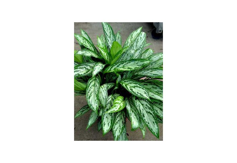 Aglaonema 'Silver Queen' 1