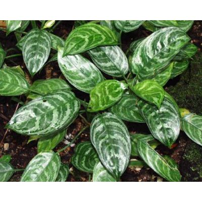"Aglaonema "" Free Man+Sam+Bay "" 4"