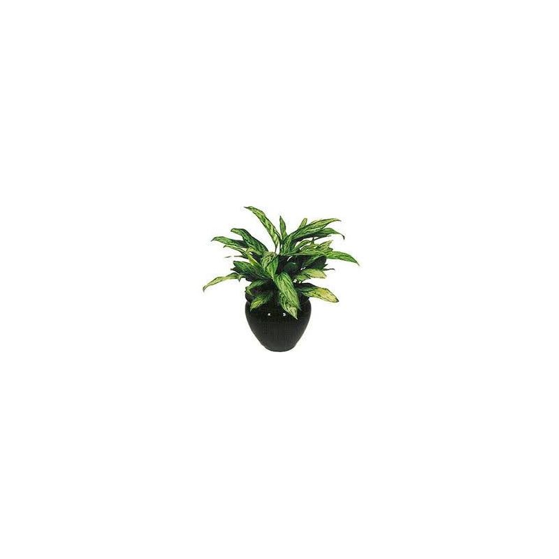 "Aglaonema "" Free Man+Sam+Bay "" 3"